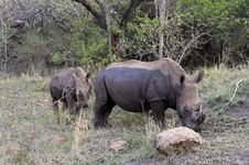 Free White Rhinos In South Africa Royalty Free Stock Images - 31615279