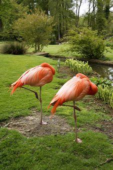Pink Flamingo S On One Leg Stock Photo