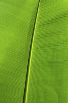 Free Banana Leaf Stock Photos - 31617633