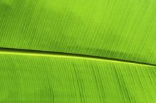 Free Banana Leaf Royalty Free Stock Photo - 31617675