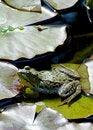 Free Bullfrog - Rana Catesbeiana Stock Photos - 31624793