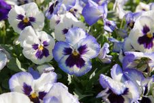 Free Violet Purple Pansy Royalty Free Stock Images - 31621489
