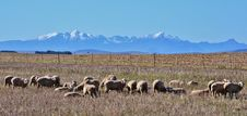 Free Sheep Stock Images - 31623454