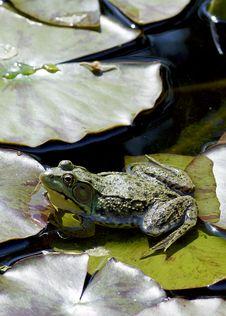 Bullfrog - Rana Catesbeiana Stock Photos