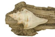 Free Conch Shell On Driftwood Stock Photo - 31626700