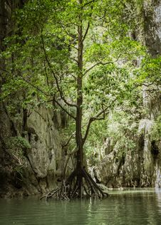 Free Tree Is Growing Above Water Royalty Free Stock Photography - 31626997