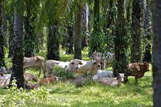 Free Brahmas Under Palm Trees Royalty Free Stock Photos - 31628268