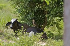 Hawk On Brahma Back Stock Images