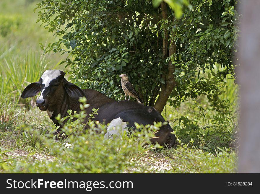 Hawk on Brahma back
