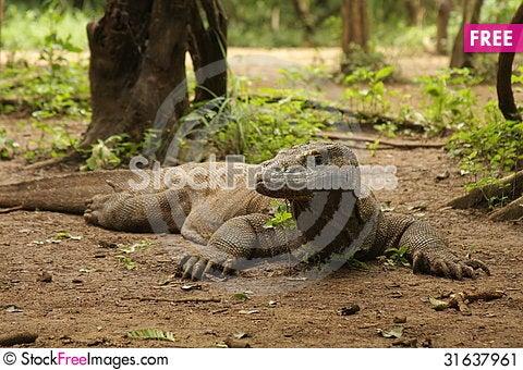 Free Komodo Dragon Stock Image - 31637961