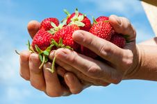 Free Strawberry Royalty Free Stock Photos - 31630808