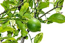 Free Green Lemon Royalty Free Stock Photo - 31636545