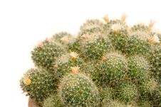 Free Blooming Cactus Stock Photography - 31638112