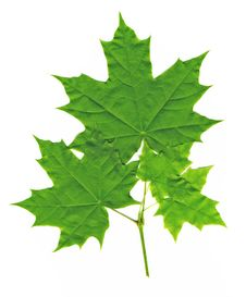 Free Maple Leaves Stock Images - 31638184