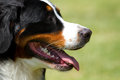 Free Berner Sennenhund Stock Photography - 31645482