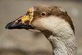 Free Portrait Goose Stock Image - 31645491