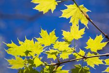 Free Green Maple Leaves On The Blue Sky Background Royalty Free Stock Photo - 31652405