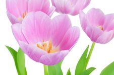 Free Tulips Royalty Free Stock Photo - 31653405