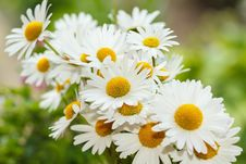 Free Daisy Flower With Shallow Focus Royalty Free Stock Images - 31657669