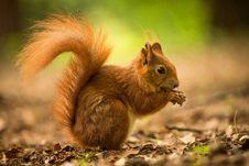 Free Squirrel Stock Image - 31658881