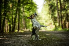 Free Jack Russel Terrier Stock Photo - 31659000