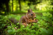 Free Squirrel Royalty Free Stock Image - 31659076