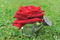 Free Red Rose In Watering Can Royalty Free Stock Image - 31660236