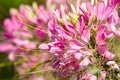 Free Small Pretty Pink Flowers Stock Image - 31662101