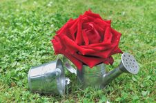 Free Red Rose In Watering Can Royalty Free Stock Photos - 31660288