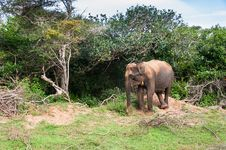 Free Wild Elephant Stock Images - 31668584