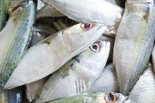 Fresh  Mackerel Fish Royalty Free Stock Images