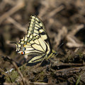Free Swallowtail Butterfly Stock Photo - 31672490