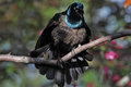 Free Brilliant Posturing Grackle Royalty Free Stock Photography - 31677707