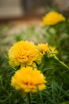 Free Yellow Portulaca Flower Stock Images - 31670674