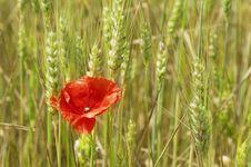 Free Wheat And Poppy Stock Photo - 31670820