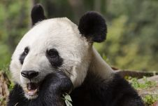 Free Giant Panda Bear Chewing On Bamboo Royalty Free Stock Photos - 31676688