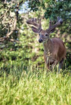 Free Whitetail Deer Buck Royalty Free Stock Images - 31676809