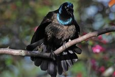 Brilliant Posturing Grackle Royalty Free Stock Photography