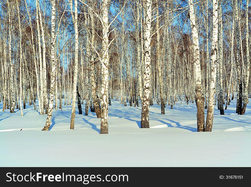 In a birchwood