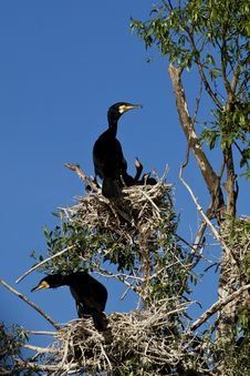 Free Cormorants At Nest In Danube Delta Royalty Free Stock Image - 31685056