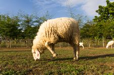 Sheep Grazing   In The Farm Royalty Free Stock Photo