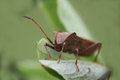 Free Brown Beetle On The Green Leaf Close-up Royalty Free Stock Image - 31690266