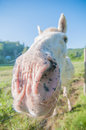 Free Funny White Horse Portrait Stock Photos - 31696533