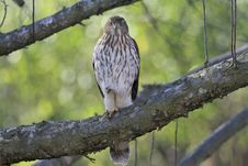 Free Cooper S Hawk Straight Gaze Royalty Free Stock Photo - 31697285