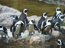 Free Penguins Stock Photo - 3170190