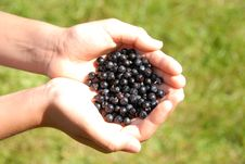 Free Huckleberry Royalty Free Stock Image - 3170506