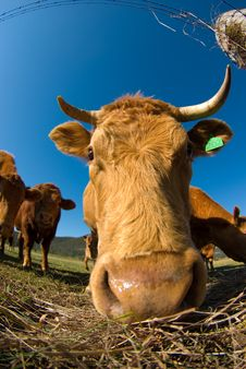 Free Bovine Caricature Royalty Free Stock Photo - 3171225