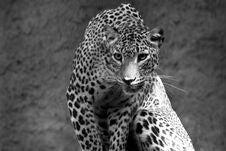 Free Leopard Panthera Pardus Stock Image - 3172191