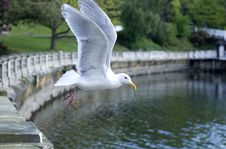 Free Seagull S Lift-off Stock Photo - 3172440