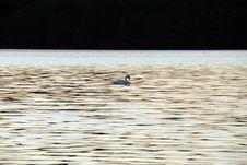 Free Swan Stock Photo - 3172570
